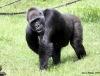 Táborský klub Envy pomáhá gorilám v Africe. Nejen o Vánocích