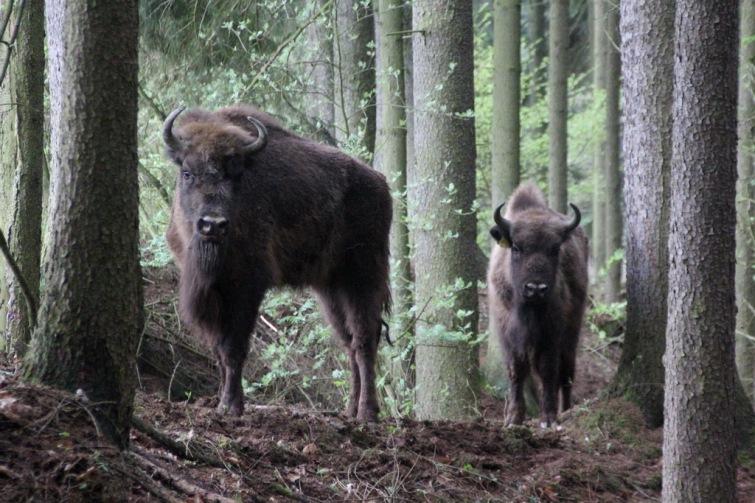 Do Tábora přicestovali z pobřeží Baltu první vzácní zubři, samice Usjana a Uselina