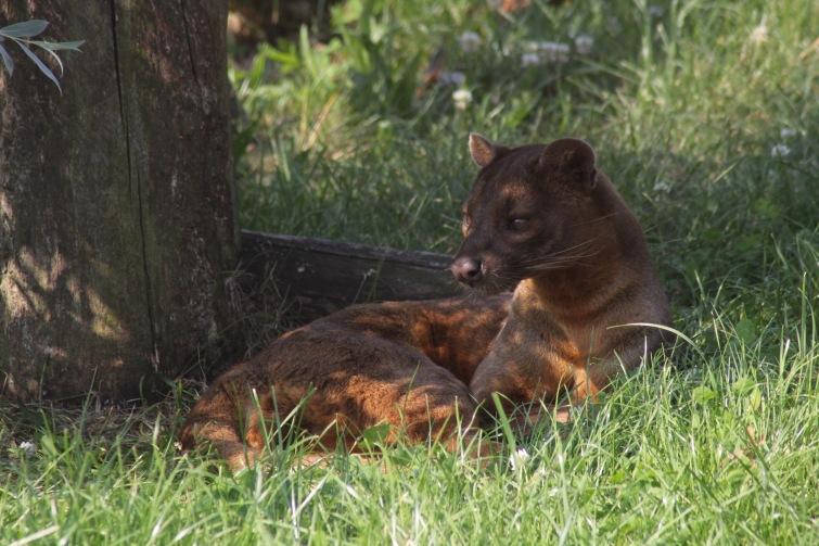 Zoo v Táboře má nového vzácného obyvatele. Získala fosu z Madagaskaru