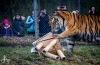 Tygr Rocky ze Zoo Tábor slavil devět let. K narozeninám si rozsápal sloníka