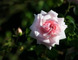 Jako zámek Šípkové Růženky. Cetrum Blatné se zahalí do růží
